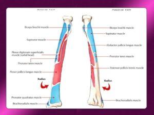 استخوان رادیوس