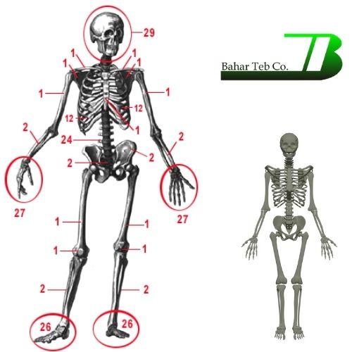 تعداد استخوان های بدن